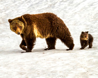 Mama Grizzly And Her Cub Spot A Potential Danger