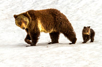 Mama Grizzly Walks With Her Cub