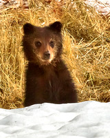 Cute Little Grizzly Cub