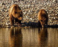 Mama Grizzly #399 Watches As One of Her Cubs Gets A Drink