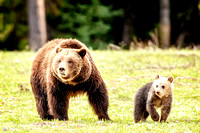 Grizzly Bear #399 And Her New Cub, Snowy