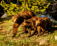 Grizzly #399 and Cubs