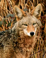 Head Shot of Young Coyote