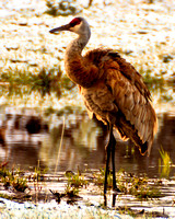 Early Morning Light On A Sandhill Crane