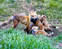 Mama Red Fox And Four OF Her Five Kits